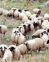 Cypriot Sheep
